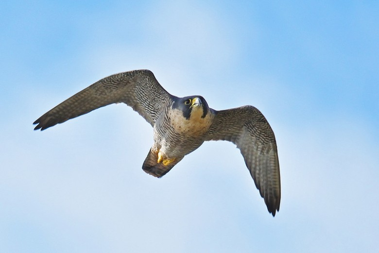 Peregrine Falcon near Berry Head. Photographer Seb Loram, Brixham.